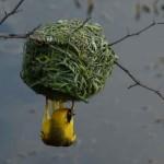 Pájaro construyendo un nido